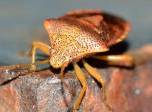 insetto cimice