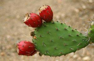 Acqua di cactus