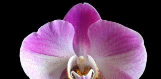 Fiori dell'orchidea